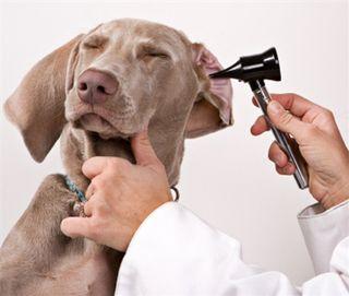 Infections de l'oreille chez les animaux de compagnie